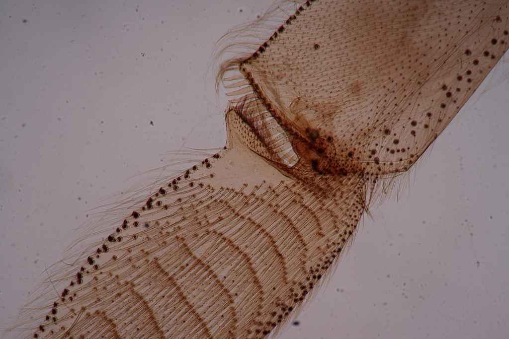 Paramecium Prepared Slide